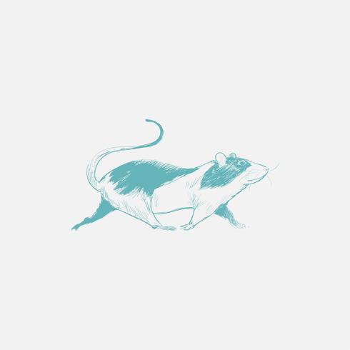 Illustrationsritning av råtta