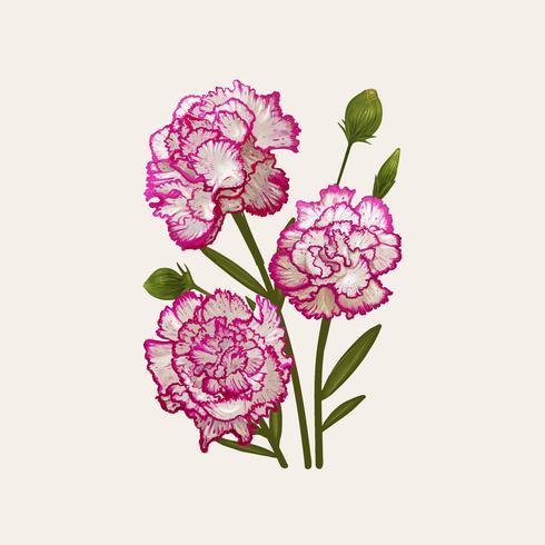 Abbildungzeichnung von Dianthus caryophyllus