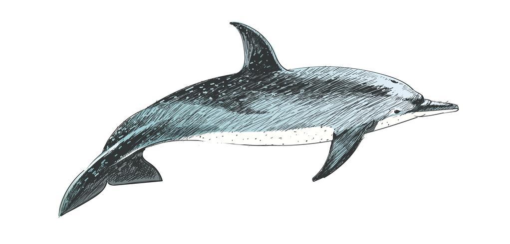 Ilustración de estilo de dibujo del delfín punteado atlántico