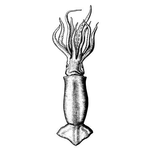 Calamar dibujado a mano aislado