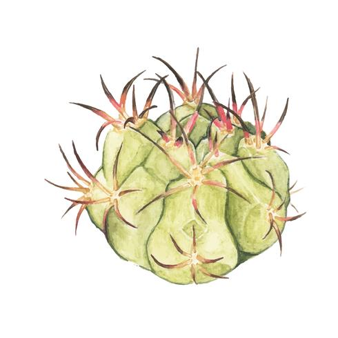 Hand drawn gymnocalycium spegazzinii cactus