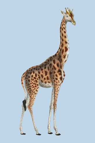 Camelopardis Giraffe - The Giraffe (1837) by Georges Cuvier (1769-1832), an illustration of a beautiful giraffe and sketches of its skull. Digitally enhanced by rawpixel.
