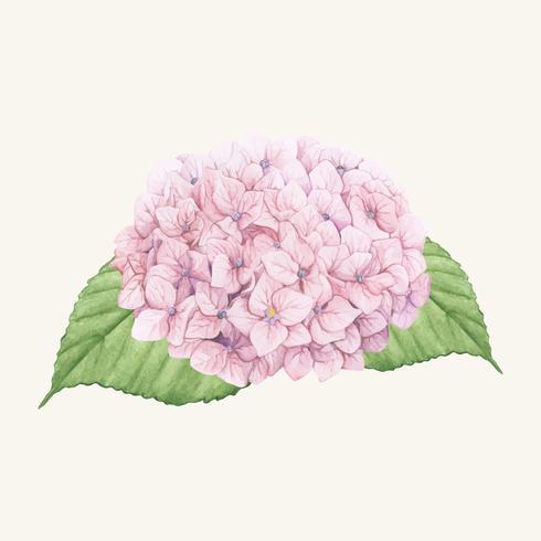 Dibujado a mano flor de hortensia aislado