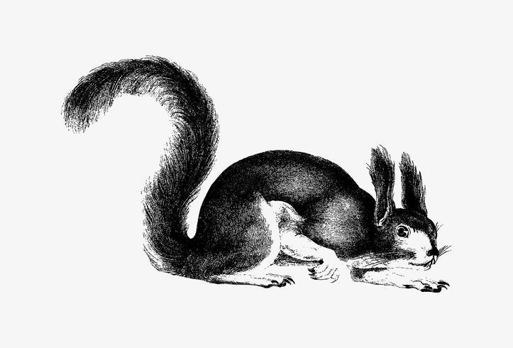 Eichhörnchen Schattenzeichnung