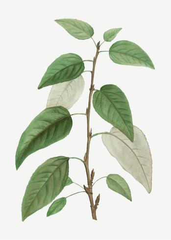 Balsam poplar tree