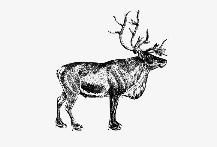 Desenho de sombra de rena Europeia