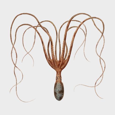 De gewone octopus (Octopus vulgaris) geïllustreerd door Charles Dessalines D 'Orbigny (1806-1876). Digitaal verbeterd van onze eigen uitgave van Dictionnaire Universel D'histoire Naturelle uit 1892.