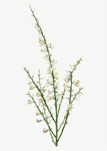 Floraison Genista multiflora