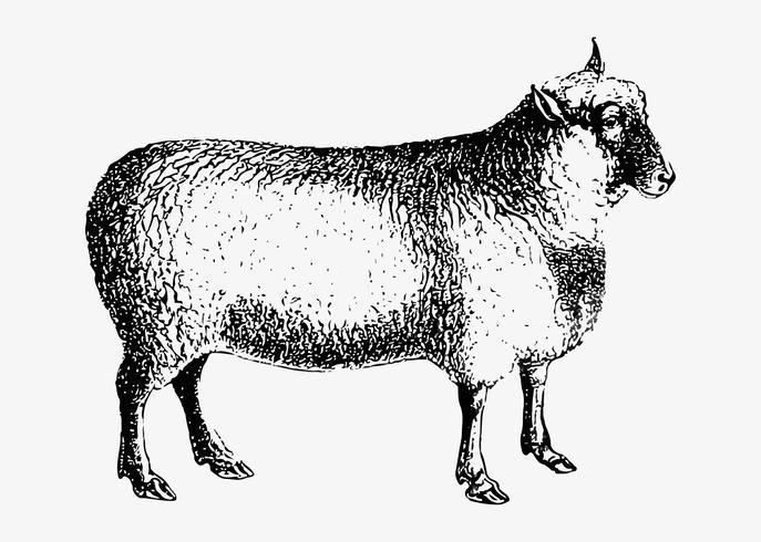 Schafschattenzeichnung