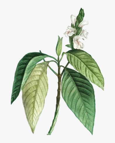 Blooming Malabar nut tree