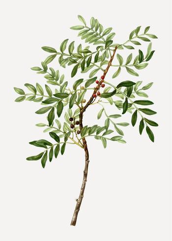 Planta Lentisk
