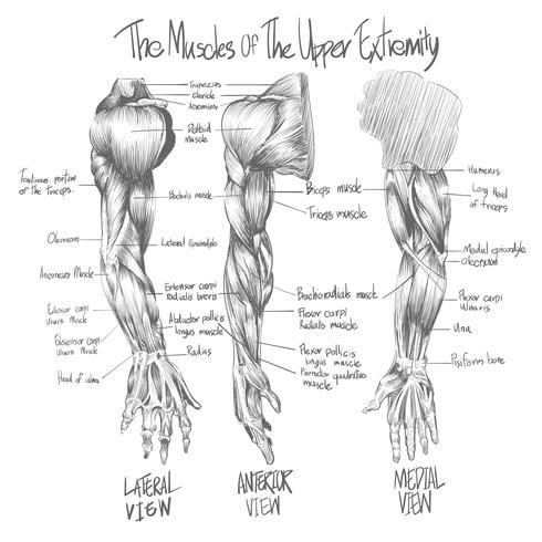 Schizzo del sistema muscolare