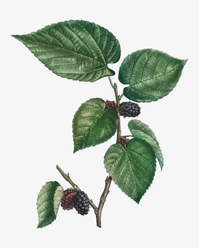 Mulberries on a branch