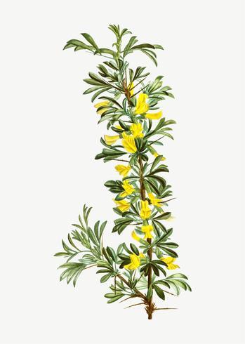 Florescendo flor caravagana Robinia