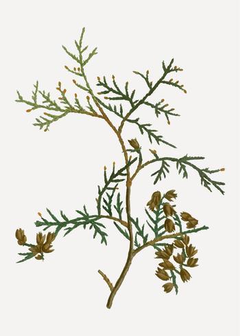 Nördlicher Zweig der weißen Zeder