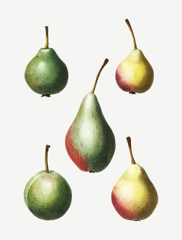 Vintage pear fruit drawing