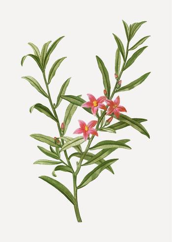Bloeiende Willow-leaved crowea