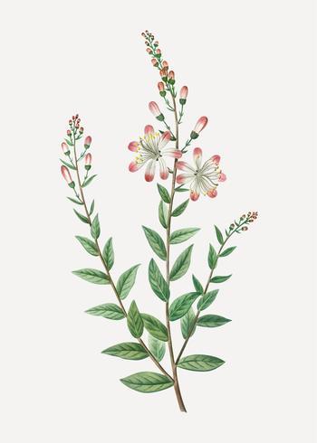Tarflower floreciente