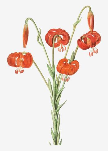 Rote Lilie im Vintage-Stil