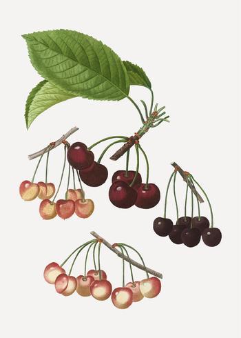 Várias espécies de cerejas