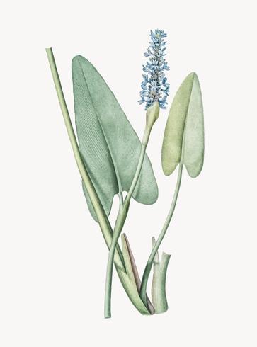 Ilustração Vintage de Pickerelweed