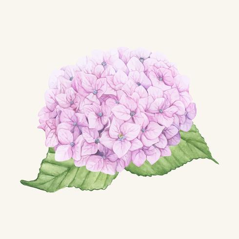 Handdragen hortensia blomma isolerad