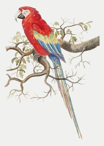 Scarlet macaw i vintage stil