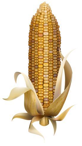 Abbildung von Mais getrennt auf weißem Hintergrund