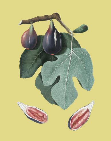 fig de ilustração de pomona italiana