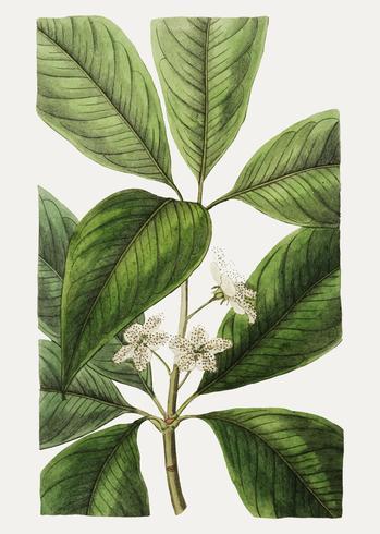 Flor de goma de agua