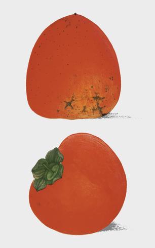 En tappningillustration av färska persimmoner från bokens kommissionär för jordbruk (1887). Digitalt förbättrad av rawpixel.