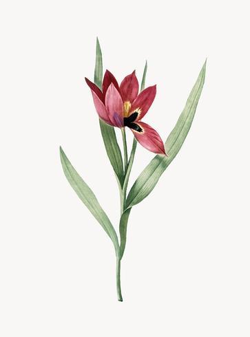 Ilustración vintage de tulipa oculus colis