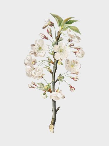Pear tree flowers from Pomona Italiana illustration