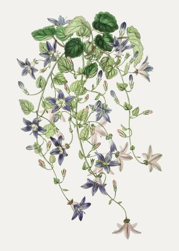 Adriatic bellflower