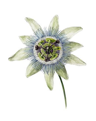 Passion Flower (1825) di Jean Bernard (1775-1883). Originale dal Museo Rijks. Miglioramento digitale di rawpixel.