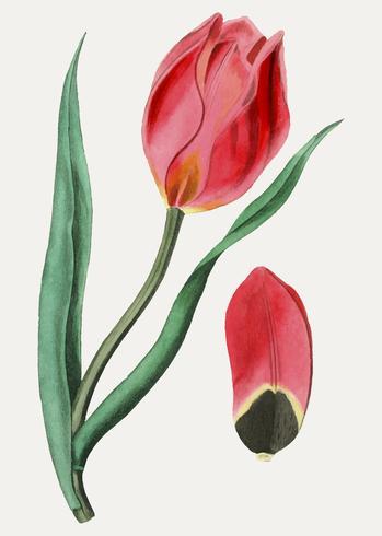 Tulipano dell'occhio del sole
