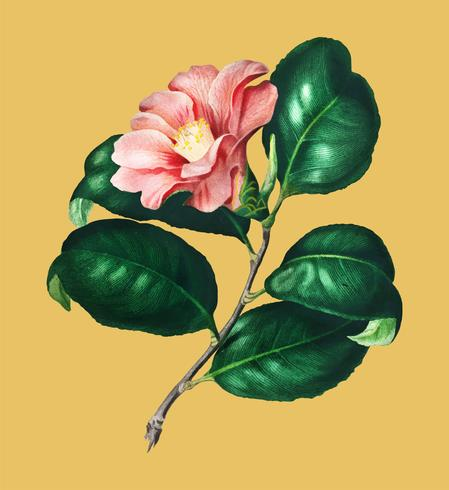Camellia japonica (Camélia du Japon) illustrerad av Charles Dessalines D 'Orbigny (1806-1876). Digitalförstärkt från vår egen 1892-upplaga av Dictionnaire Universel D'histoire Naturelle.