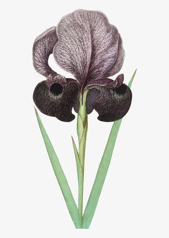 Trauer-Iris im Vintage-Stil