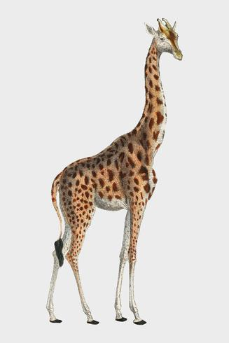 Girafa de Camelopardis - o girafa (1837) por Georges Cuvier (1769-1832), uma ilustração de um girafa bonito e esboços de seu crânio. Digitalmente aprimorada pelo rawpixel.