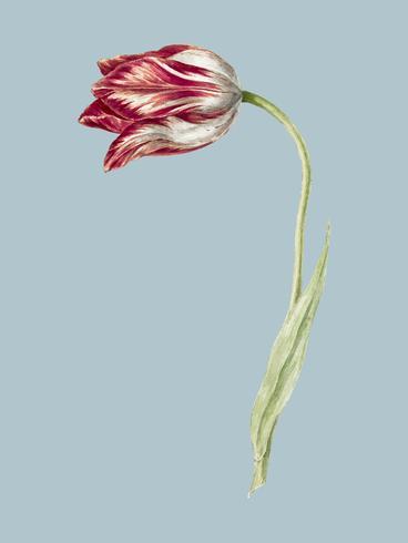 Tulipano rosa di Jean Bernard (1775-1883). Originale dal Museo Rijks. Miglioramento digitale di rawpixel.