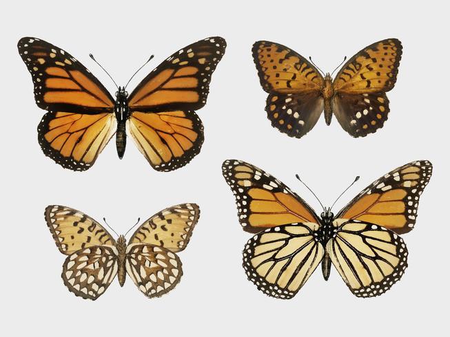 Monarkfjäril (Danais Archippus) från Moths och fjärilar i USA (1900) av Sherman F. Denton (1856-1937). Digitalt förbättrad av rawpixel.