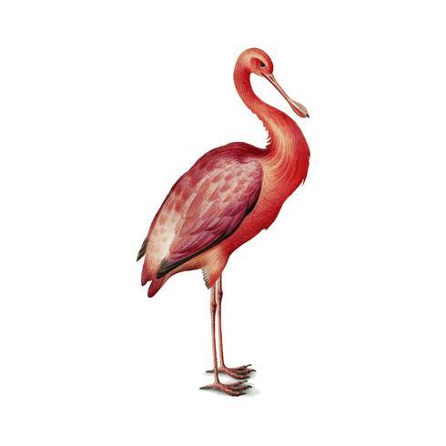 Weinleseillustration eines rosa Spoonbill