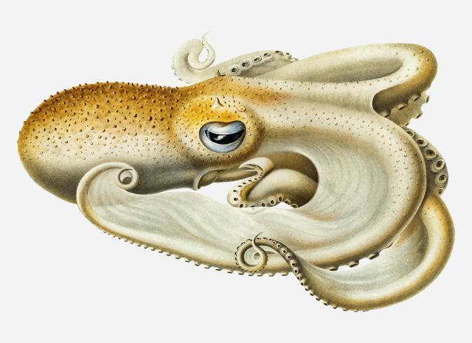 Octopus van Velodona