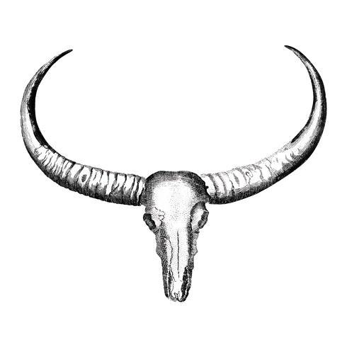 Vintage illustrations of Longhorned buffalo skull