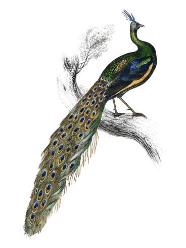 La bibliothèque du naturaliste de Sir William Jardine (1836), majestueux portrait de paon mâle. Augmenté numériquement par rawpixel.