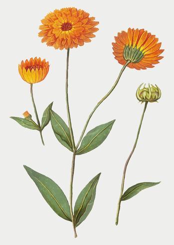Marigold i vintage stil