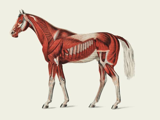 Oppervlakkige laag spieren door een onbekende kunstenaar (1904), een medische illustratie van het spierstelsel van paarden. Digitaal verbeterd door rawpixel.