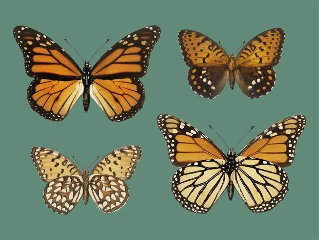 Monarchfalter (Danais Archippus) aus Motten und Schmetterlingen der Vereinigten Staaten (1900) von Sherman F. Denton (1856-1937). Digital verbessert durch Rawpixel.