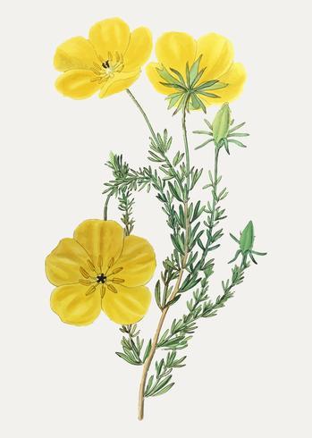 Flor de thalamiflorae