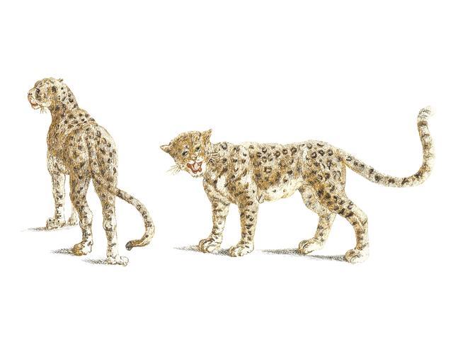 Illustrazione d'epoca di due leopardi
